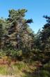 bruyères et pin en forêt de Fontainebleau