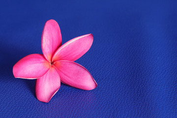Frangipani on blue background