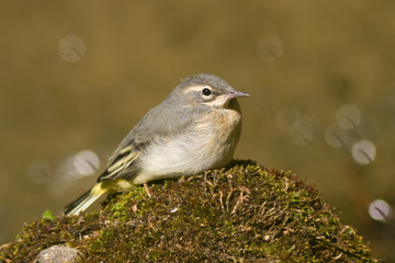 Young Grey Wagtail