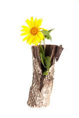 vase of birch stump with a sunflower isolated on a white backgro