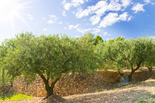 Canvas Olijfboom Olives taste like Sun