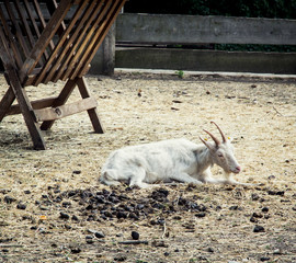Goat resting near the feeder