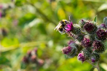 Bee pollinating flowering Great Burdock