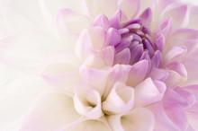"""Постер, картина, фотообои """"White dahlia close-up"""""""