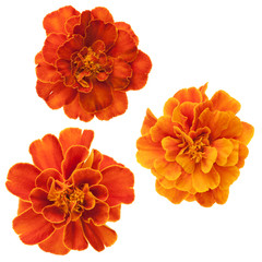 Three french marigolds