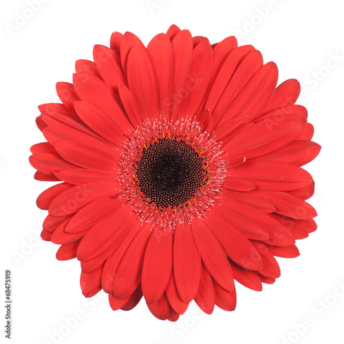 Red gerbera isolated