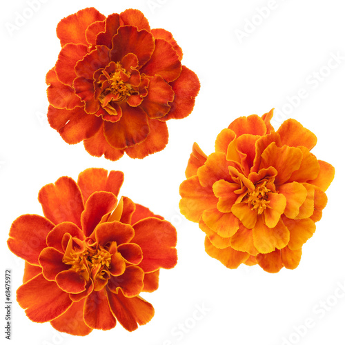 Fotobehang Madeliefjes Three french marigolds