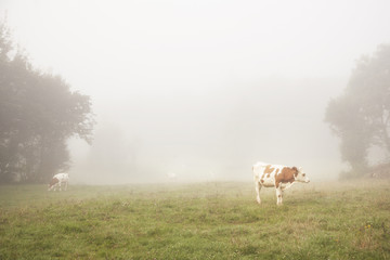 red and white cattle in the morning mist