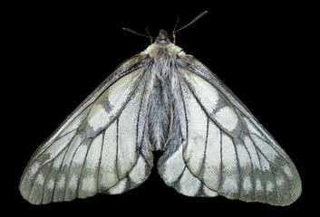 White butterfly (Papilio stubendorfi) 10