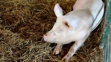 Pig on livestock exhibition - Agricultural Fair