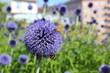 Obrazy na płótnie, fototapety, zdjęcia, fotoobrazy drukowane : Biene und Hummel sitzen auf der Blüte einer Kugeldistel
