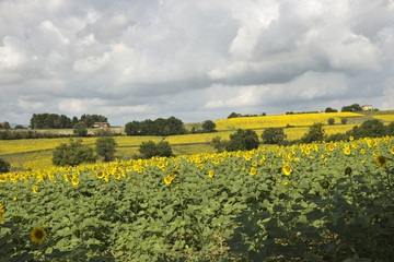 Sunflowers - Perugia countryside, Italy