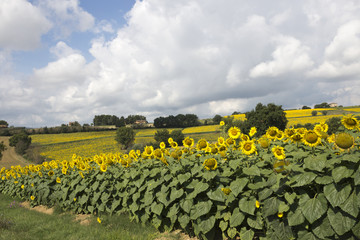 Field of sunflowers, Perugia countryside - Italy