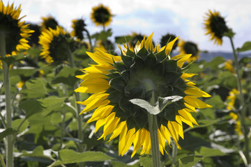 Sunflower back view - Umbria, Italy