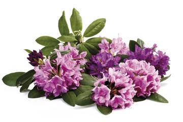 Rhododendron blüten (Rhododendron)