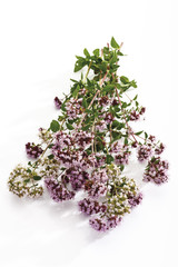 Echter Majoran (Origanum vulgare)
