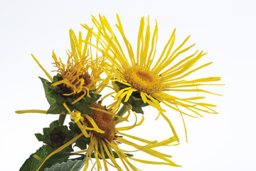 Echter Alant (Inula helenium L.)