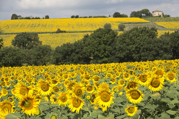 Beautiful sunflowers fields in Umbria, Perugia country
