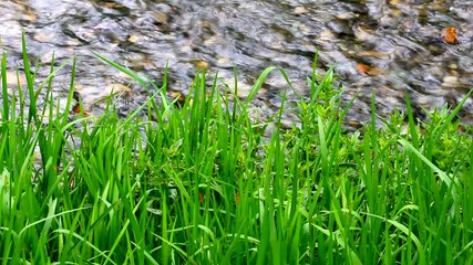 fresh,green grass by the flowing stream