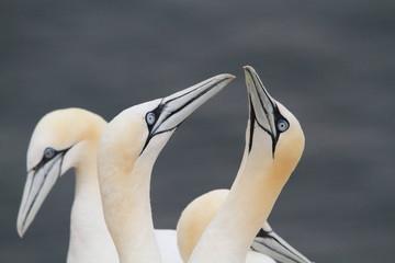 uccello sula bassana helgoland mare del nord