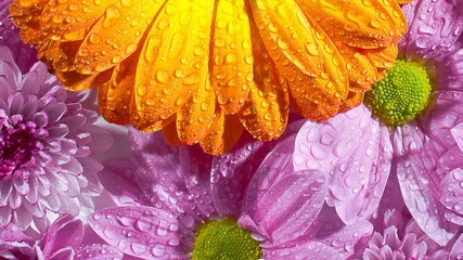 Yellow and pink gerbera with water drops