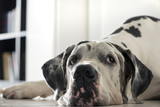Great dane grandpa laying on the floor