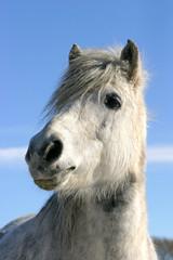 Headshot of a white pony