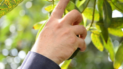 Harvesting avocado hanging of tree tropical fruit