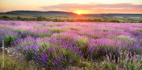 Meadow of lavender. - 68484331