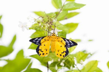 The spotted golden-looper moth with flower