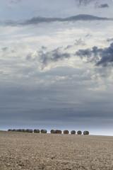 despues de la cosecha de trigo