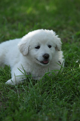 Amazing white puppy of Slovakian chuvach lying in the grass
