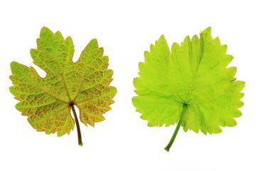 Weinblätter (Vitis vinifera)