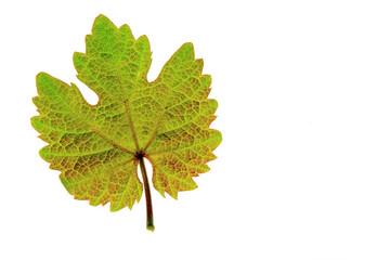 Weinblatt (Vitis vinifera)