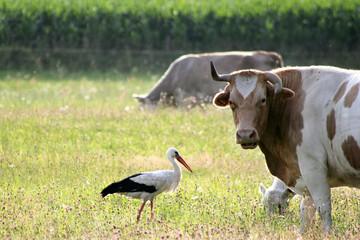 Storch und Kuh