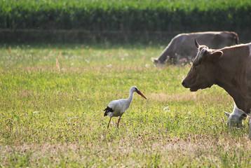 Kuh und Storch