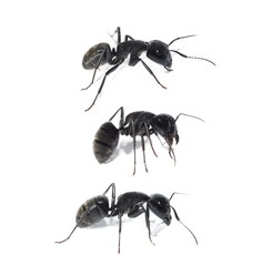 black ant isolated on white background, Carpenter ant