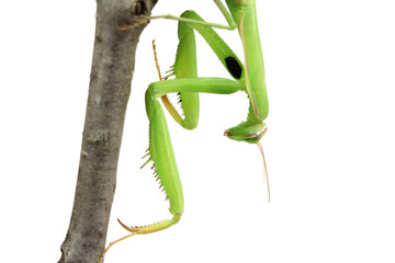 Green mantis sitting on a branch close-up