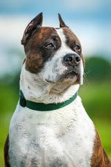 Portrait of american staffordshire terrier
