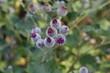 A group of purple burdock flowers