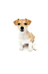 kleiner Jack Russel Terrier Welpe guckt in die Kamera