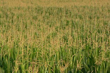 coltivazione di mais