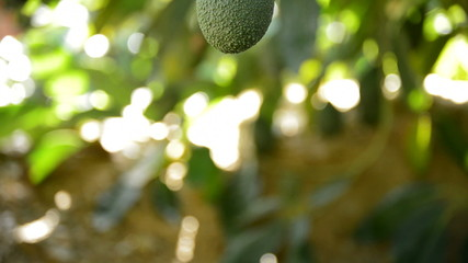 Hass avocado fruit in close up hanging at tree pan