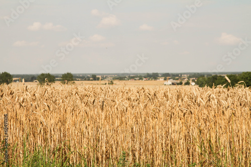 Field of wheat in Poland