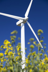 Wind turbine in yellow canola field.