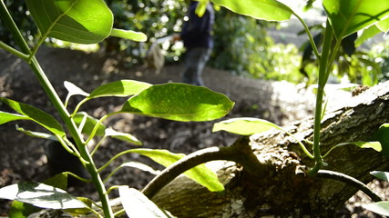 Panoramic of avocado fruit tree in close up