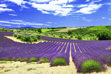 beautiful lavander fields, Provance, Valensole, France