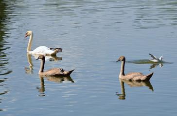 Höckerschwan mit Jungen