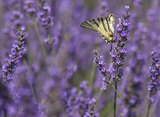 Swallowtail butterfly on lavender  field.Fabulous purple bokeh.