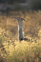 otarda di kori savana parco nazionale serengeti tanzania